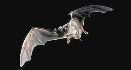 Common in California, the Mexican free-tailed bat is a general insect eater, but most often it feeds on aerial insects at night, such as moths and flies. Source: UC IPM
