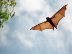 Bats Enhance Hearing by Waggling Their Heads