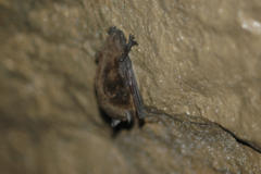 Bananas to Bats: The Science Behind the First Bats Successfully Treated for White-Nose Syndrome